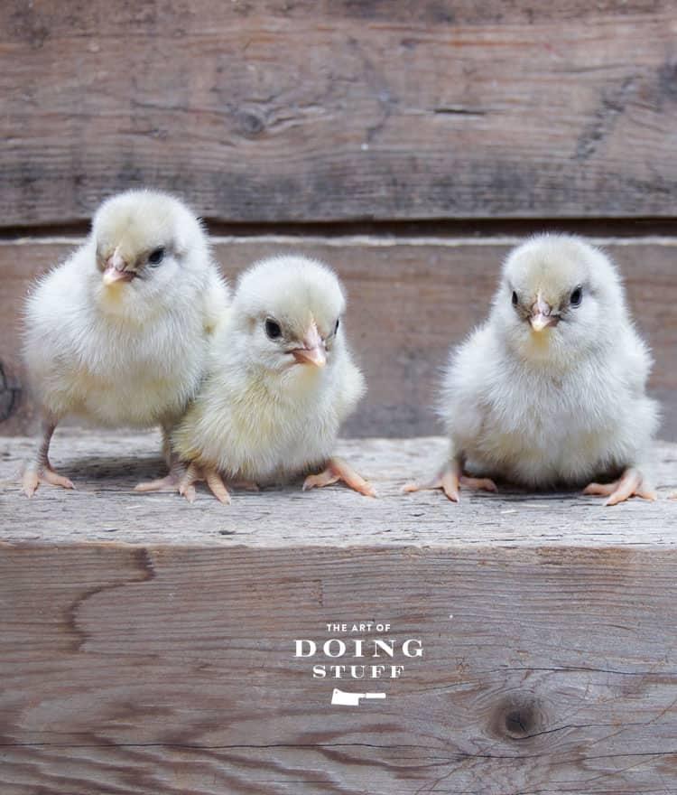 olive-egger-chicks-3b