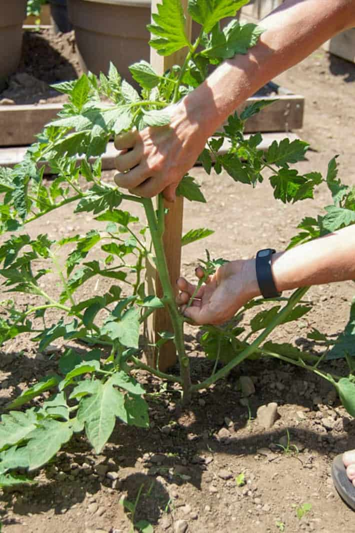 Woman demonstrates how to pinch off a sucker growing between the stem and branch of a tomato plant.