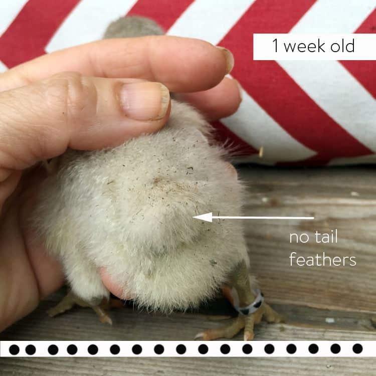 Dot-1-week-no-tail