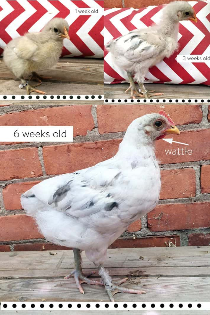 Male Olive egger chick at 1, 3 and 6 weeks old.