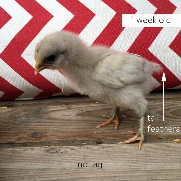 1 week old female olive egger chick.