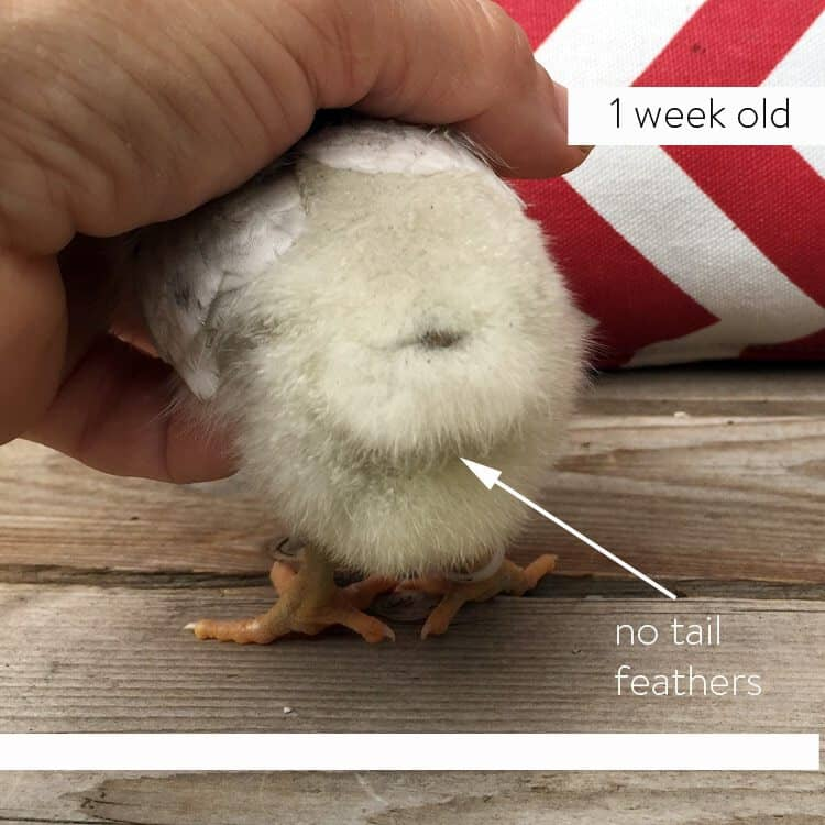 One week old male easter egger chick with no tail feathers.