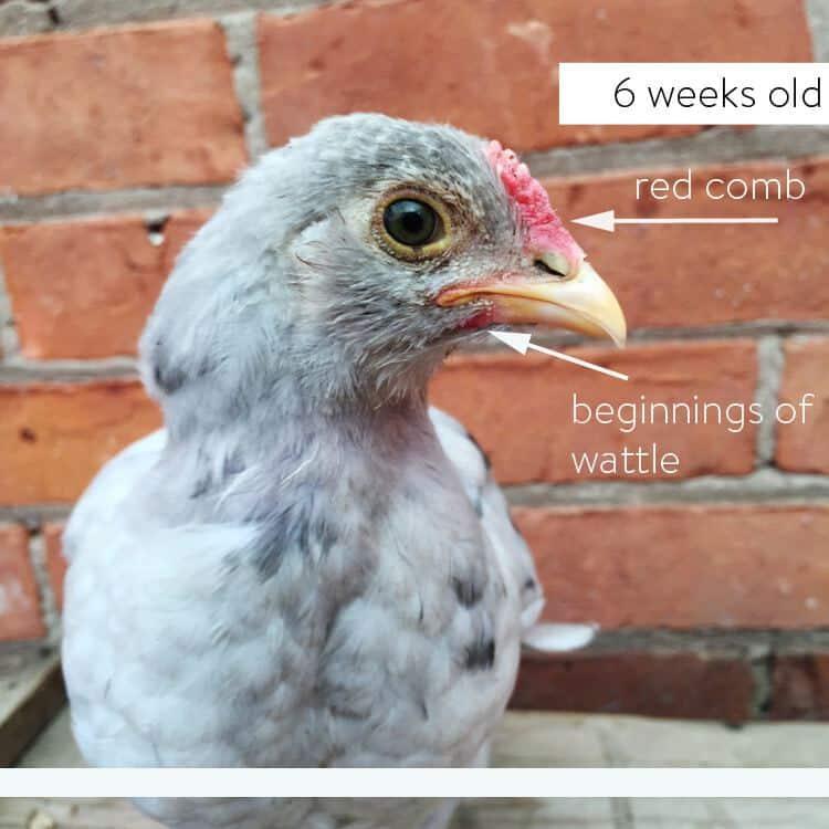 6 week old splash Olive Egger.