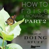 HOW TO RAISE A MONARCH BUTTERFLY. PART II.