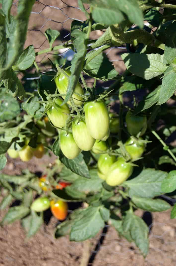 Juliette tomatoes ripening on a vine supported by the string method.