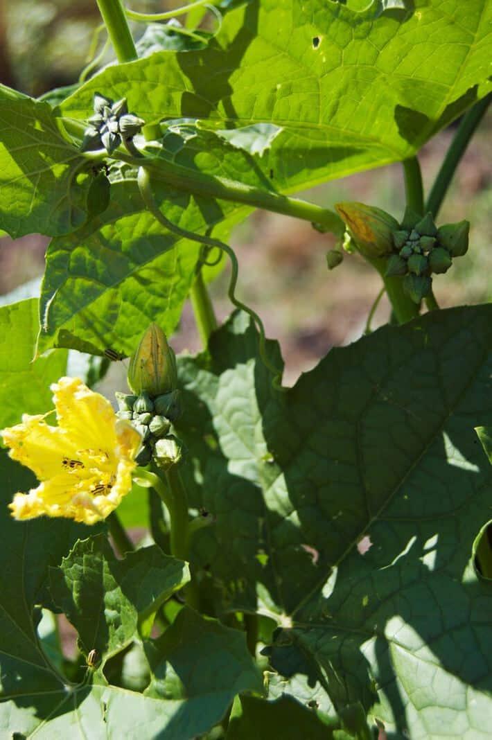 luffah-flower