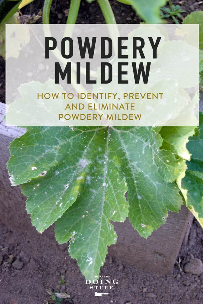 How To Get Rid Of Powdery Mildew. (Organic Treatment)