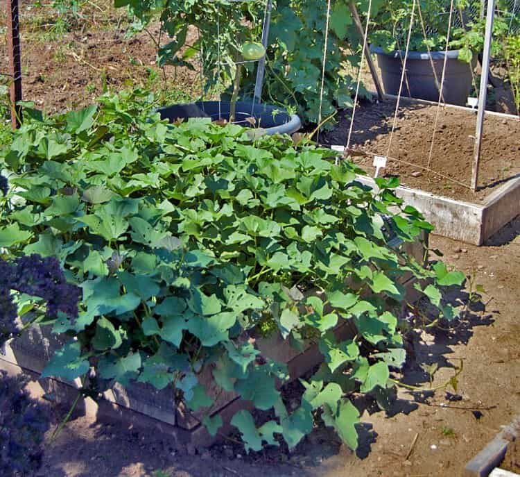 sweet-potato-plot