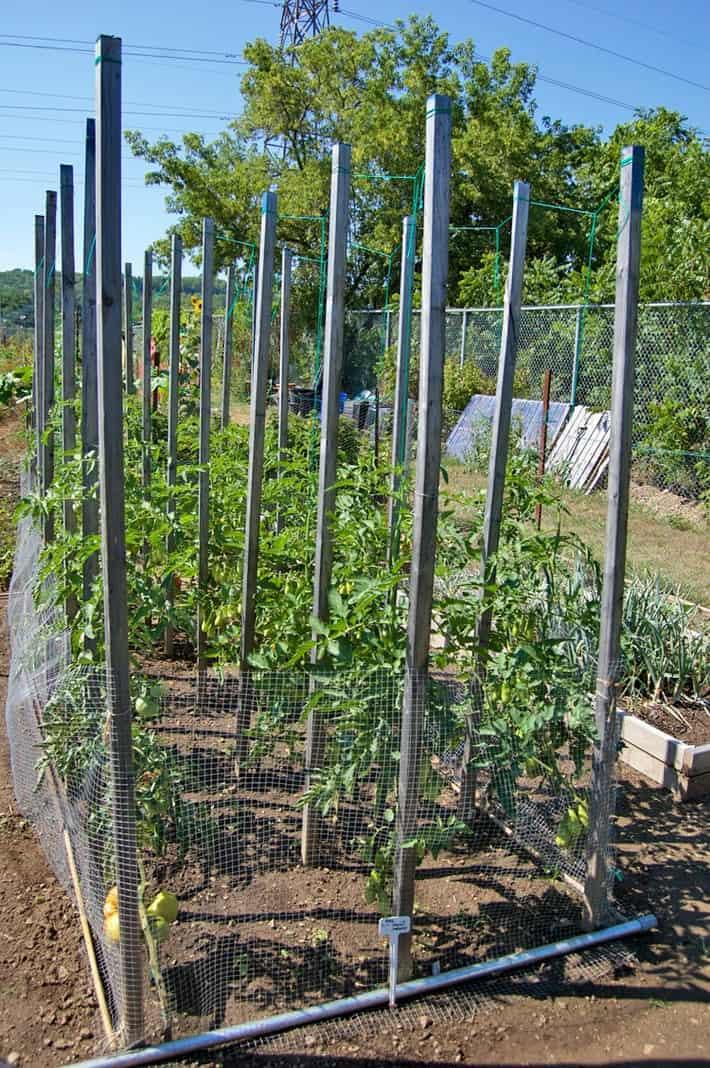 tomato-cage