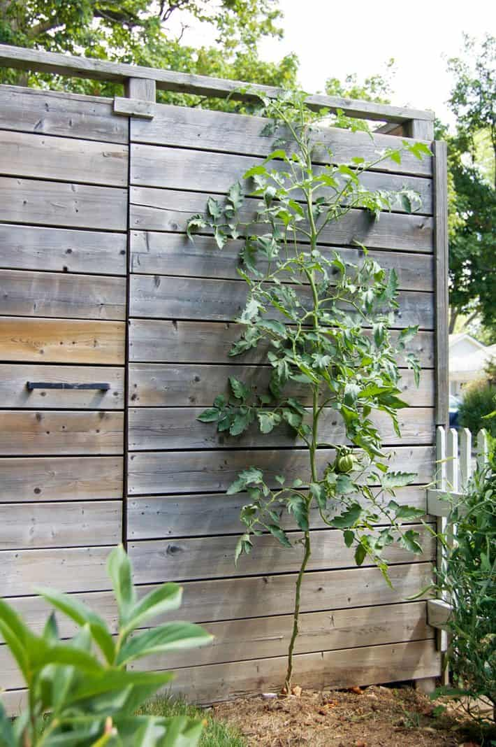 A perfectly tidy tomato plant grows espalier style against a wood fence by using the string method of growing.