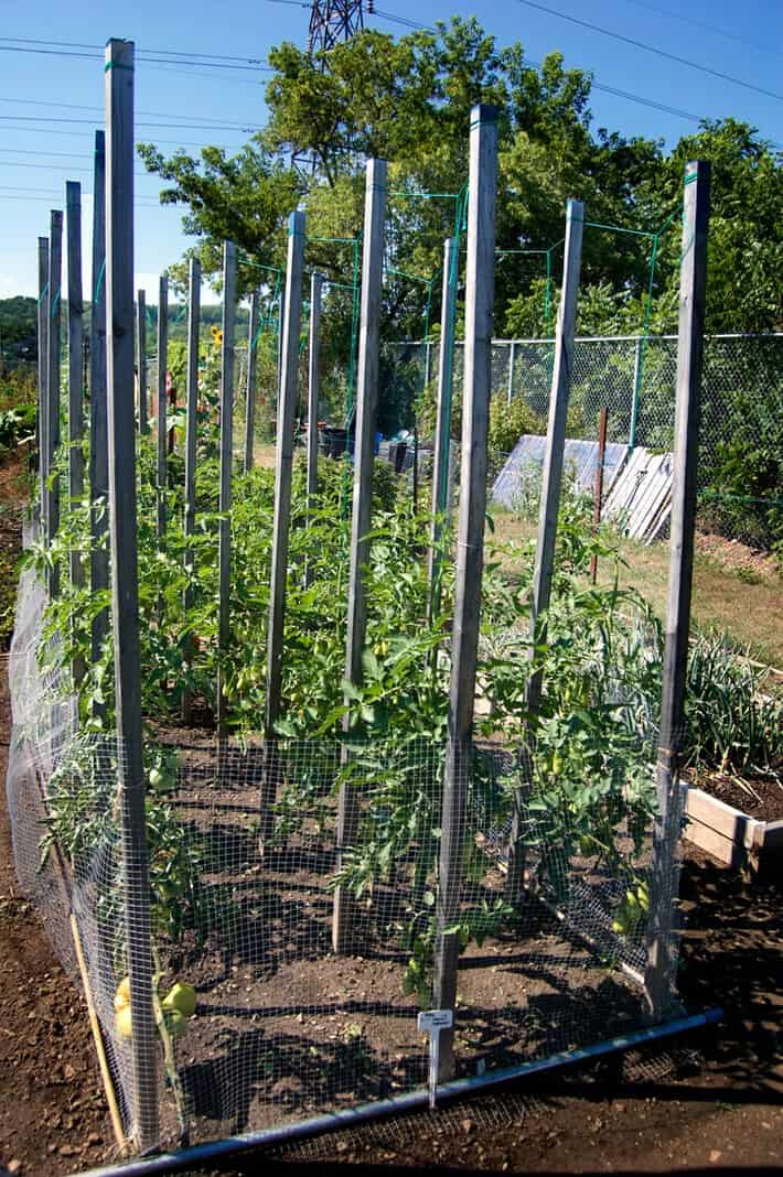 String training tomatoes in garden plot where they were previously staked.