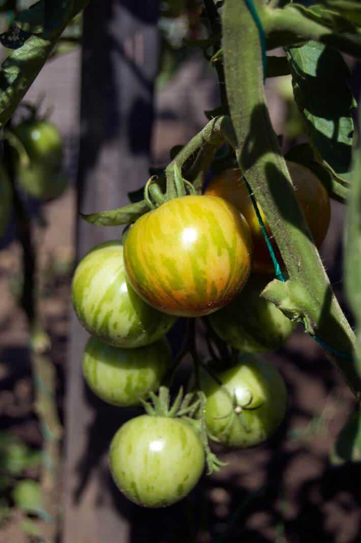 Tigerella tomatoes ripening on tomato vine supported by string method.