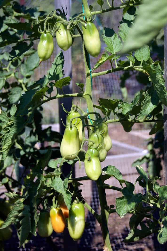 San Marzano tomatoes ripening on tomato vine being supported with string method.