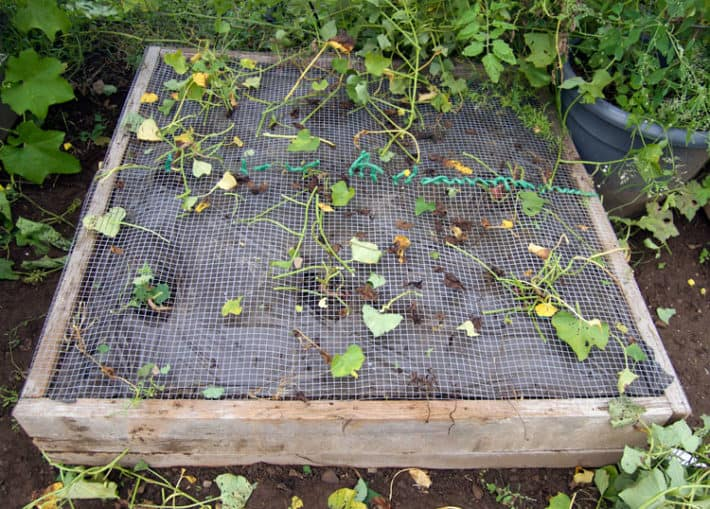 Hardware cloth stretched and stapled across the wood frame of a raised bed to keep rodents out of sweet potato patch.