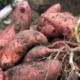 I SPENT 5 MONTHS GROWING SWEET POTATOES. WHO GOT THEM? THE VOLES OR ME?