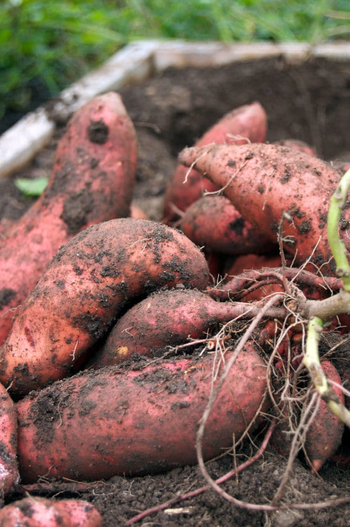 A pile of dirt covered, freshly dug sweet potatoes from a home garden.