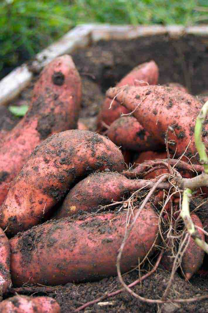 sweet-potato-pile