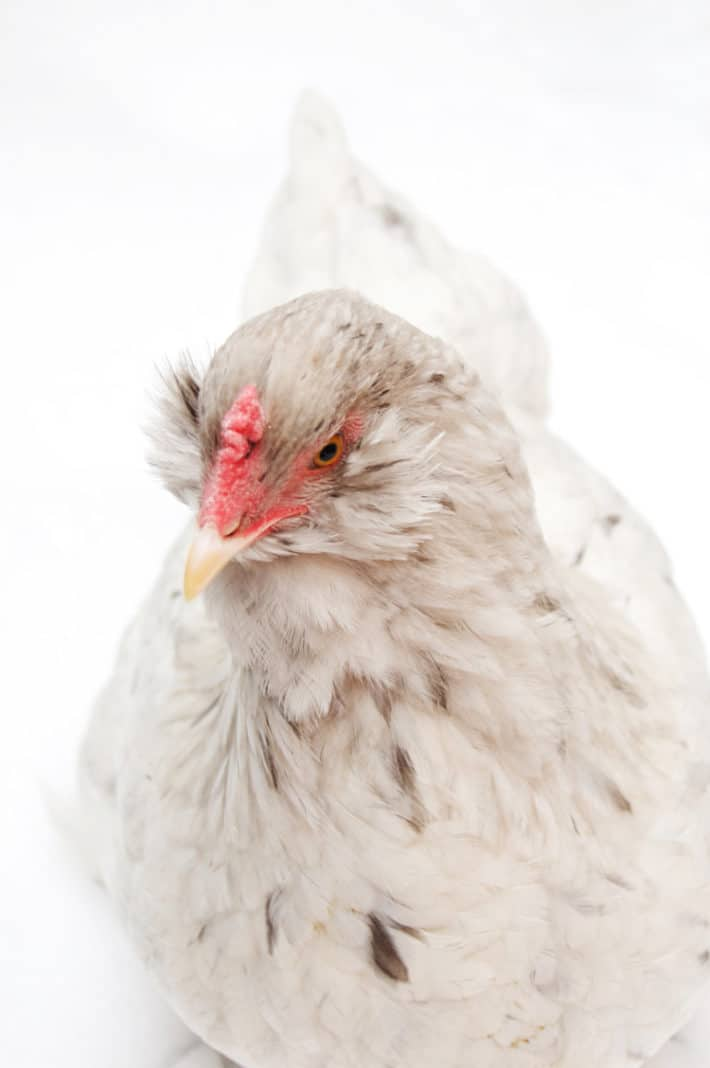 Karen Bertelsen's mean white chicken named Baby against a white background.