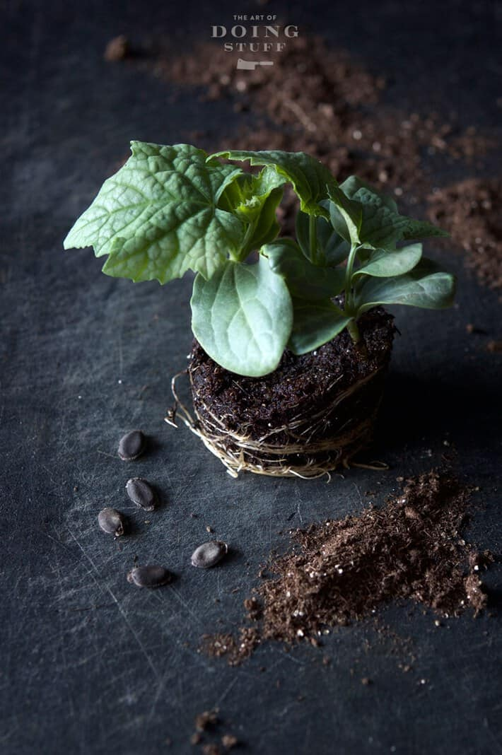 LUFFAH-seedling-3