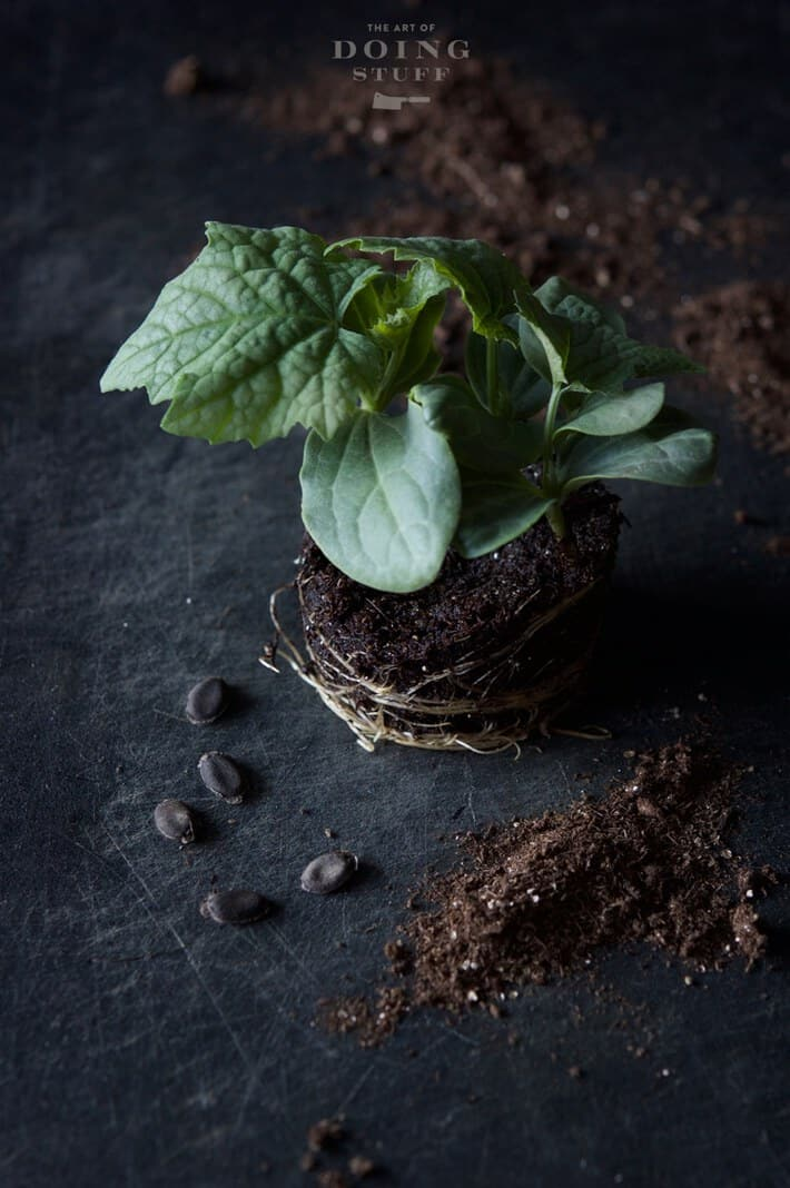 Luffa seedling ready for transplanting on a black backdrop with loofah seeds scattered around.
