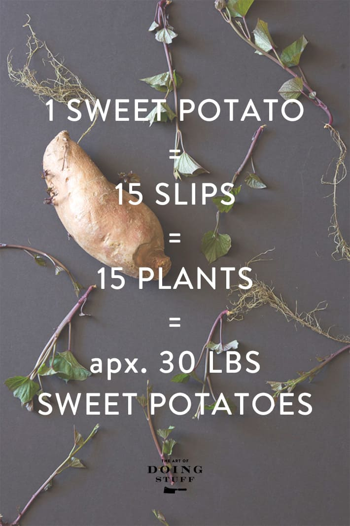 Sweet potato graphic showing how 1 potato can easily produce 30 pounds of sweet potatos.