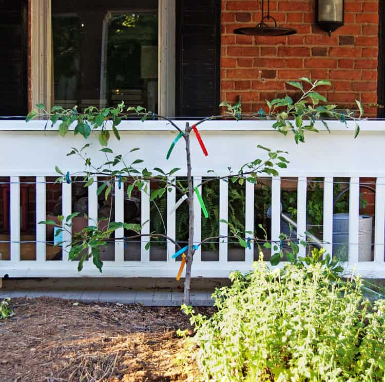 how to keep an apple tree small