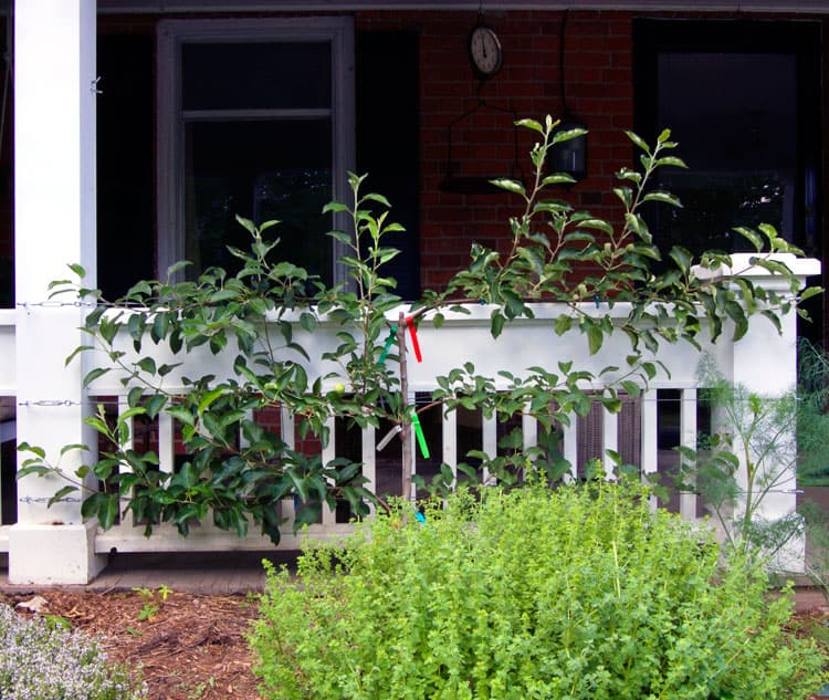pruning apple espalier