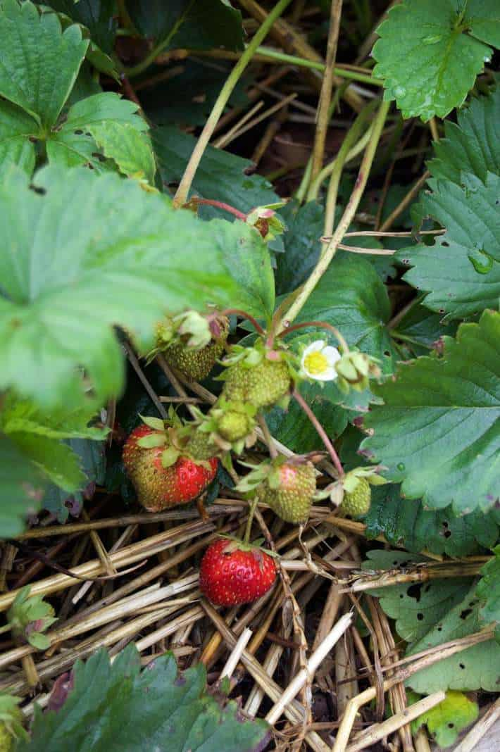 charlotte strawberry