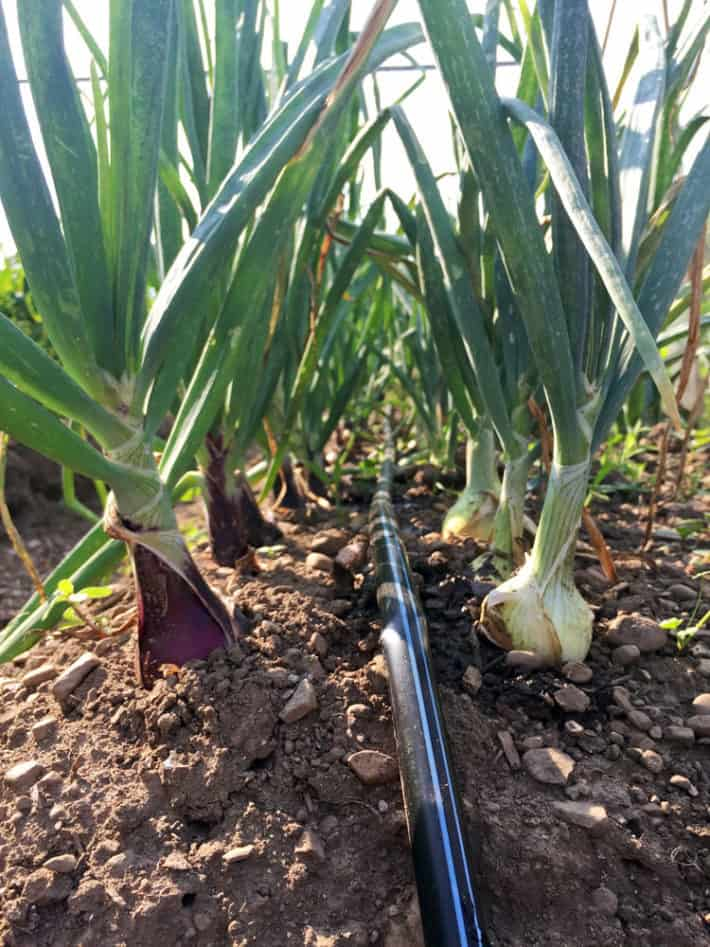 A home garden watering system runs between two rows of growing onions.