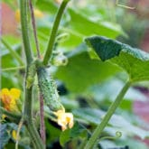 Get Rid of the Cucumber Trellis & Grow Them on Strings.