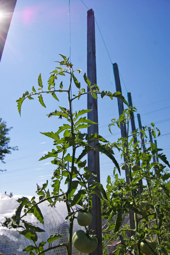 A tidy row of tomatoes grow up strings towards the sky.