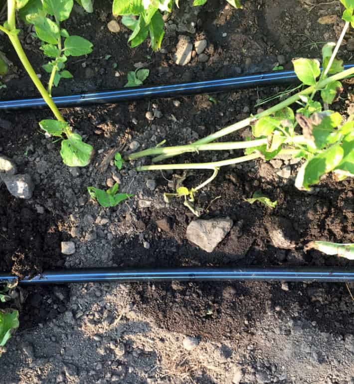 An overhead shot of a drip system at work in a home garden with water seeping into the ground.How to install a drip irrigation system.