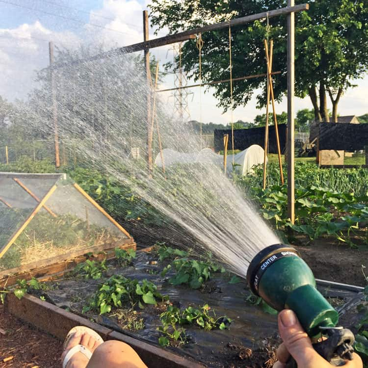 Tranquil shot of gardener's hand holding sprinkler, watering large vegetable garden in the late afternoon.