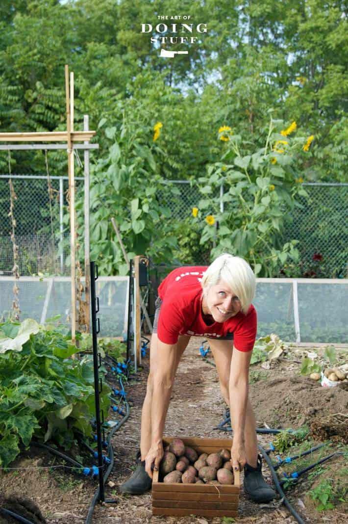 Karen Bertelsen leaning over to pick up a crate of newly dug potatoes in her garden.