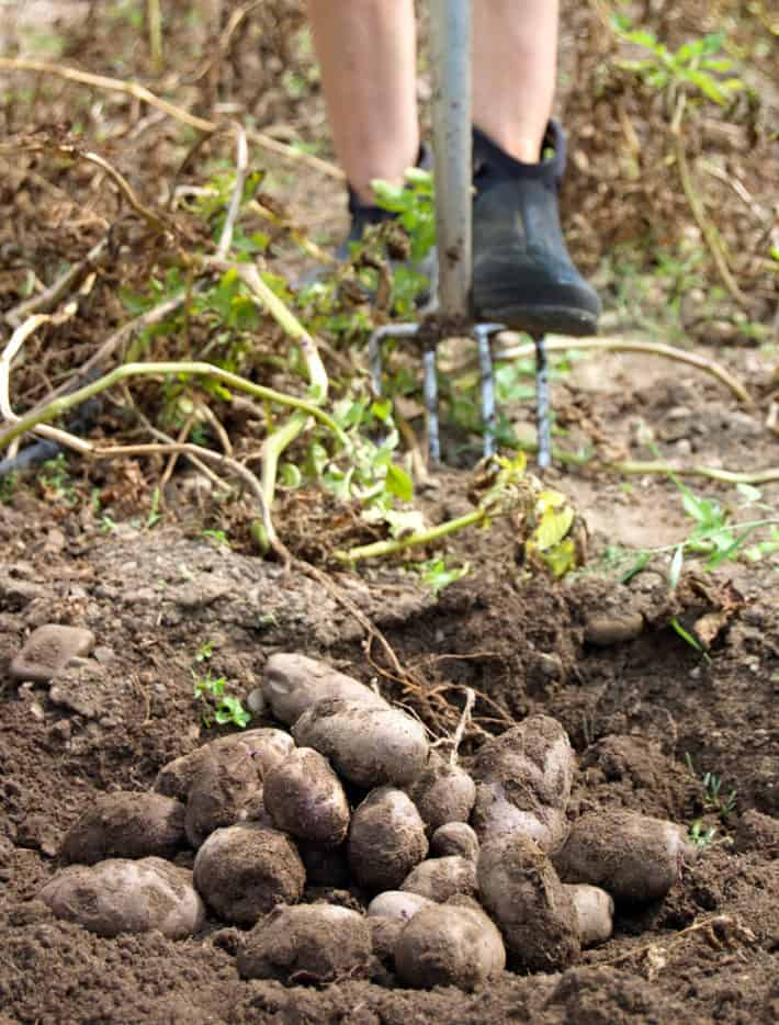 A pile of potatoes in the foreground with a garden fork in behind as Karen Bertelsen pushes it into the soil to dig more potatoes.