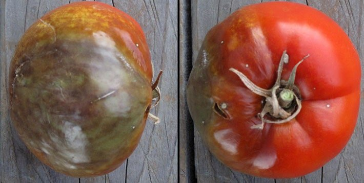 Red tomato affected by late blight with discolouration and rotting.