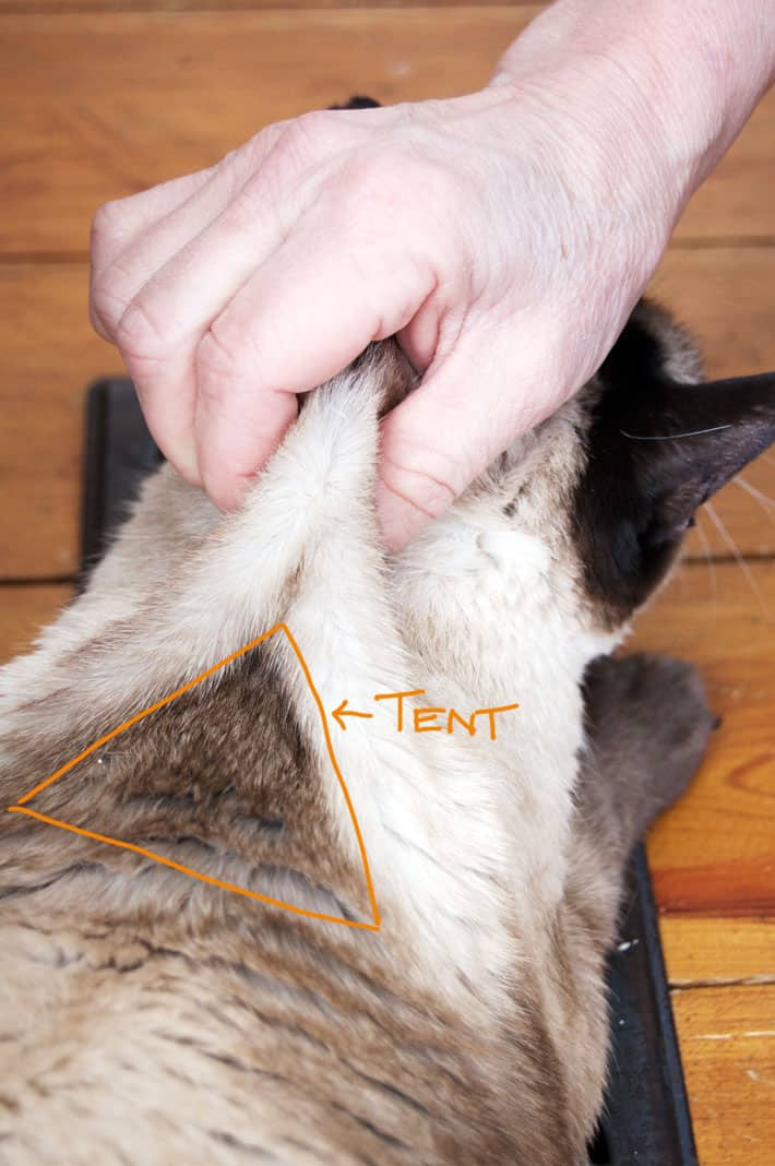 A woman's hand holds a Siamese cat by the scruff of the neck creating a tent for inserting the needle for fluids at home.