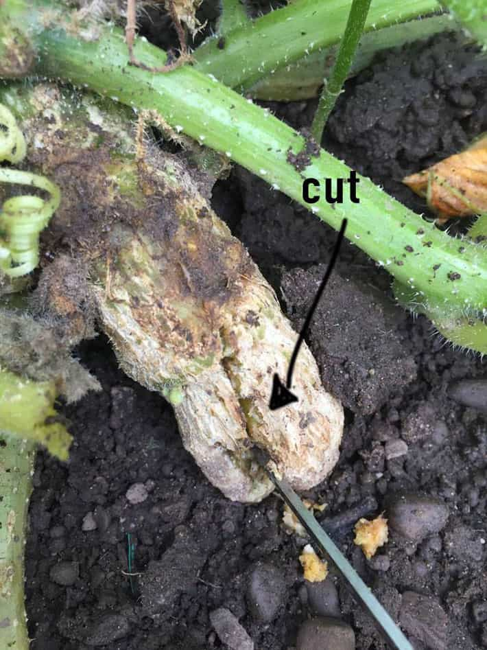 Squash stem at ground level showing damage from a squash vine borer. Stem looks rotted and unwell.