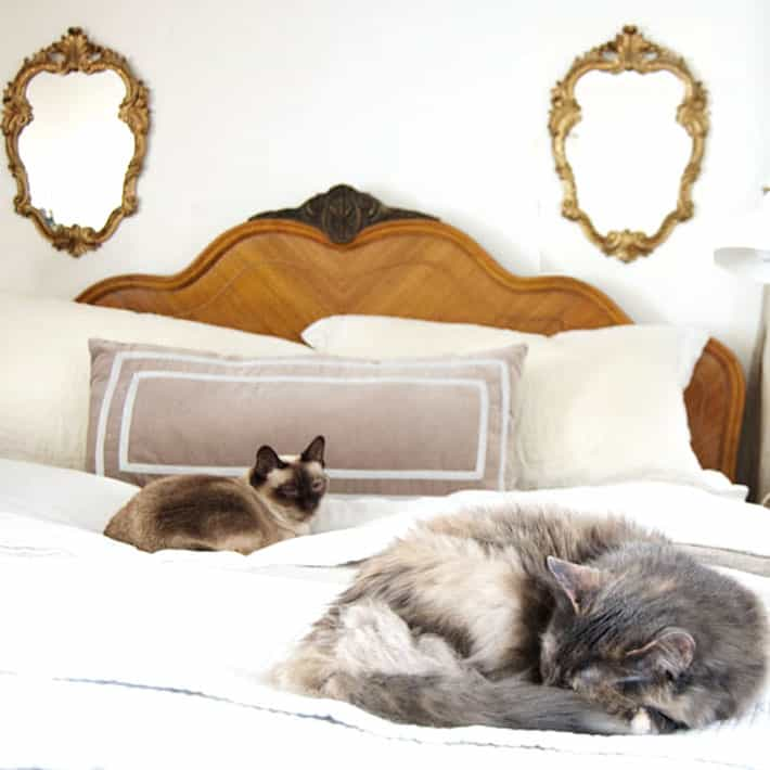 Traditional siamese and dilute calico rescue cat laying on antique bed with white linen sheets.