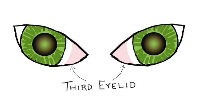 Coloured drawing of cat eyes, showing the third eyelid that comes out from the inside corner of the eyes.