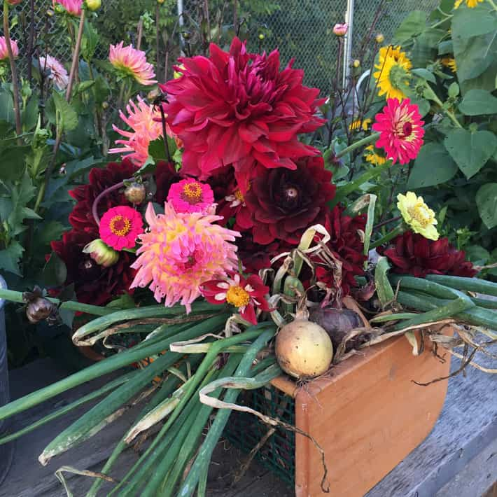 Just a ridiculous amount of flower pictures this years cutting last week i pulled my tubers out of storage and because i always have bad luck every single one of them lived im planting them for the upcoming season sciox Gallery