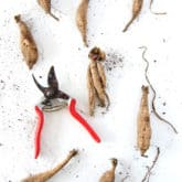 How to Split Dahlia Tubers.