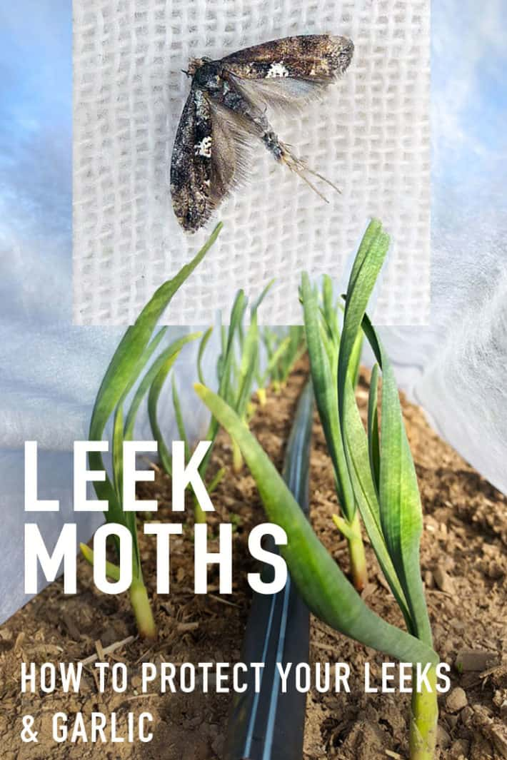 If You Grow Leeks, Onions or Garlic You NEED To Do This Right Now.