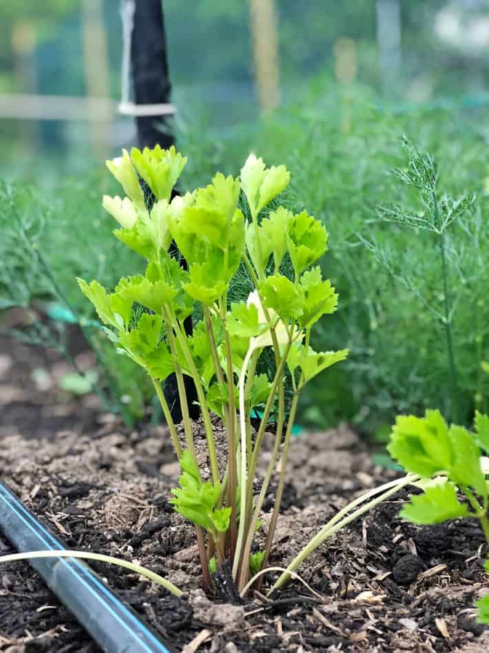 Young, green celery root plant.