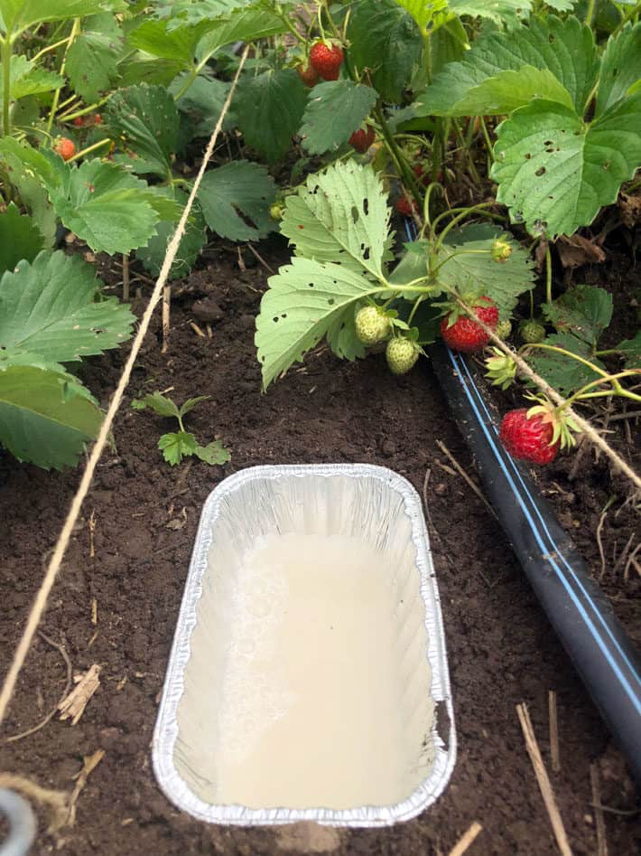 Aluminum dish filled with DIY slug bait in strawberry patch.