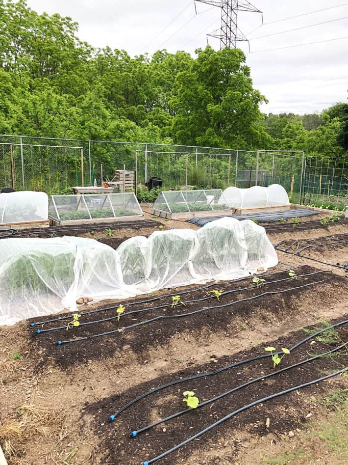 Side view of large garden with hoop houses, floating row cover, and raised beds.