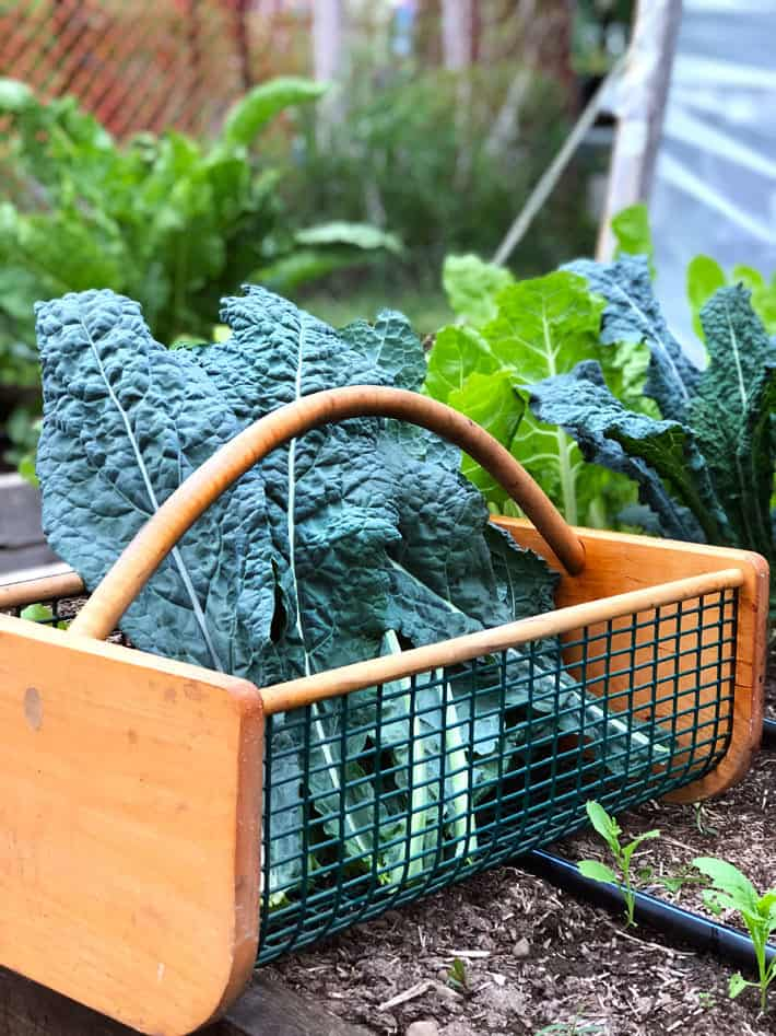 Black kale in wood vegetable trug.