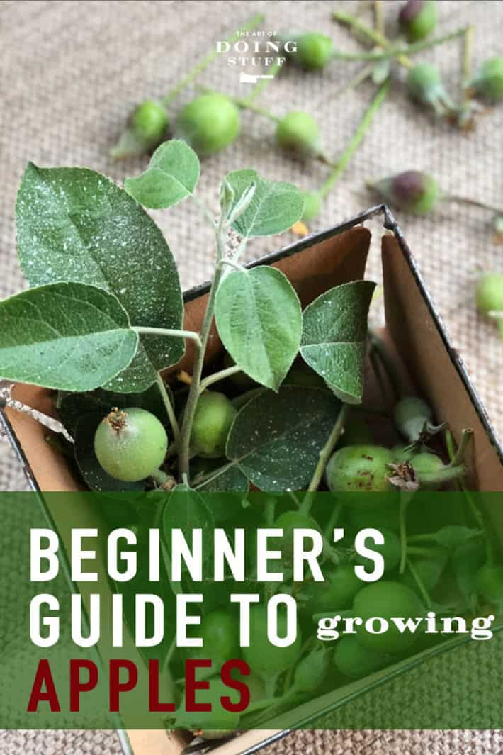 Did you get an apple tree or two and now have NO idea what to do with them?  Here are the 3 main things you need to know to actually produce your own apples.