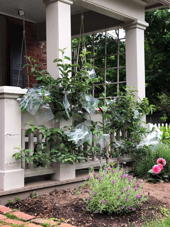 View of apple espalier with baggies, on porch from the side.