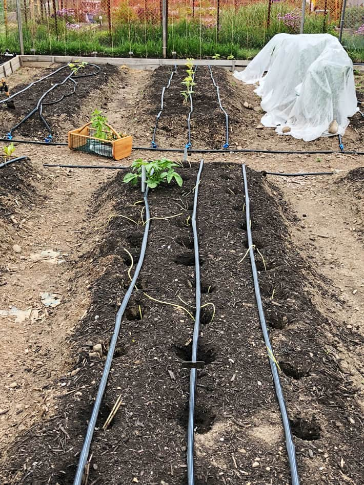 Potato beds with new planting method of driving stakes into the ground to create large holes.